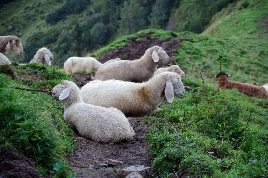 Owce przy schronisku Südwandhütte pod Dachstein